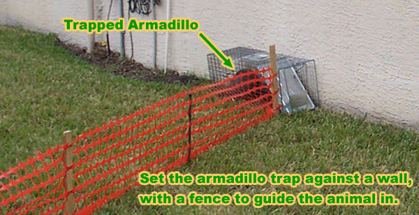 How to Trap an Armadillo - Can you remove it yourself?